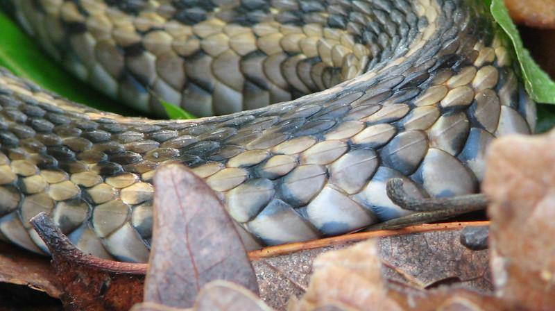 Adult Garter Snake - Close-up of Skin - Taken at Neighbor Ken's Driveway
