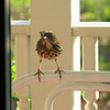 Brown Thrasher - Entertained With His Reflection in the Dining Room Window on the Front Porch_8
