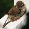Wren Fledgling - May 2007_4
