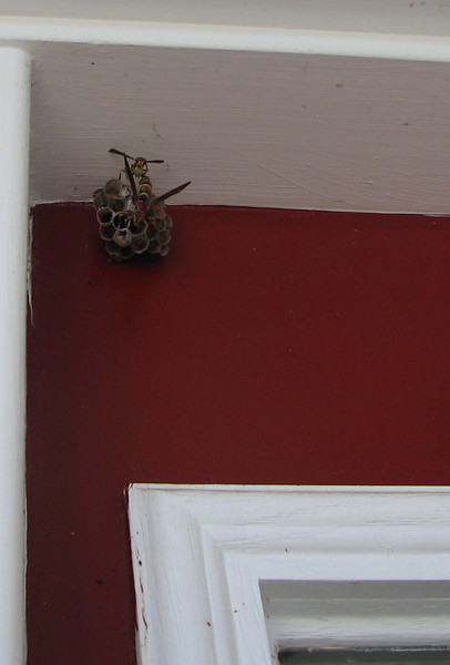 2007 Location of Paper Wasps on our Front Porch - On the Side Light Beside the Front Door