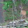 Young Deer - May 22