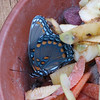Red-Spotted Purple Butterfly Eating From Fruit and Veggie Wildlife Bowl