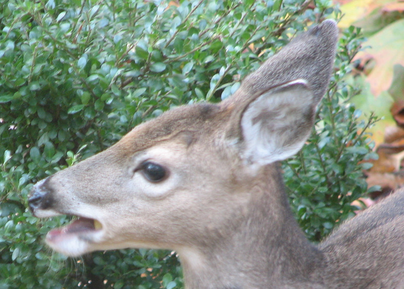 Deer Chewing on Apples - This Little One Doesn't Have The Long Eyelashes