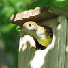 Great-crested Flycatcher - May 21 - Building Nest