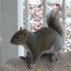 Small Short-tailed Squirrel - What a Cutie