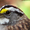 Close-up White-throated Sparrow