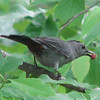 Grray Catbird With Nut Thrown to Squirrels