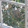 Two Squirrels Mating in the Holly Tree Outside Breakfast Window - March 6