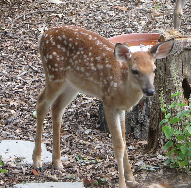 Fawn In Front Garden
