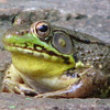 Male Green Frog With Bright Yellow Throat
