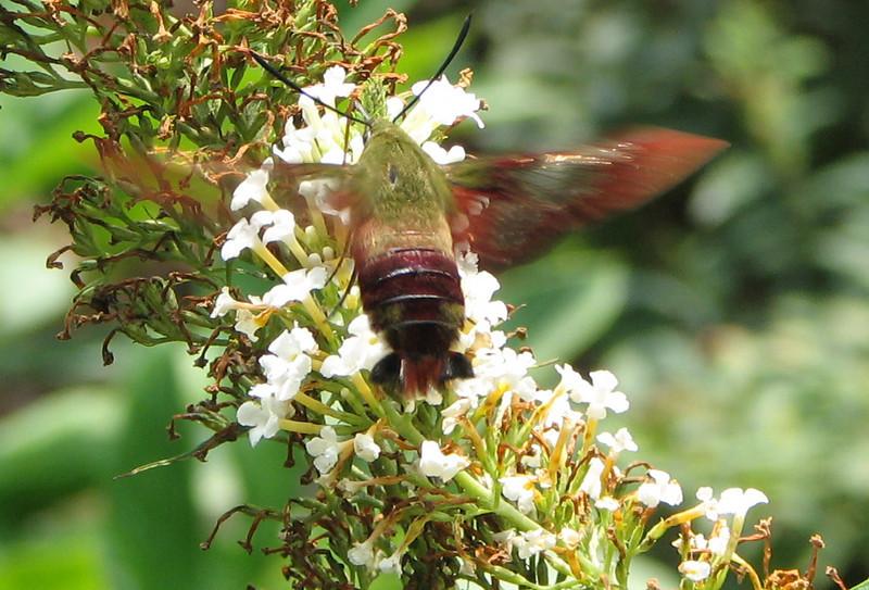 Hummingbird Moth - Hemaris thysbe