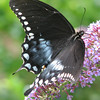 Black Swallowtail_2
