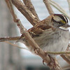 White-throated Sparrow in Willow