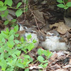 Three Little Wren Babies Sitting on the Ground - Already They Are Learning to Watch for Hawks
