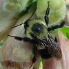 Close-up of Sleeping Common Eastern Bumble Bee (Bombus impatiens) on Foxglove Flower - Early Morning