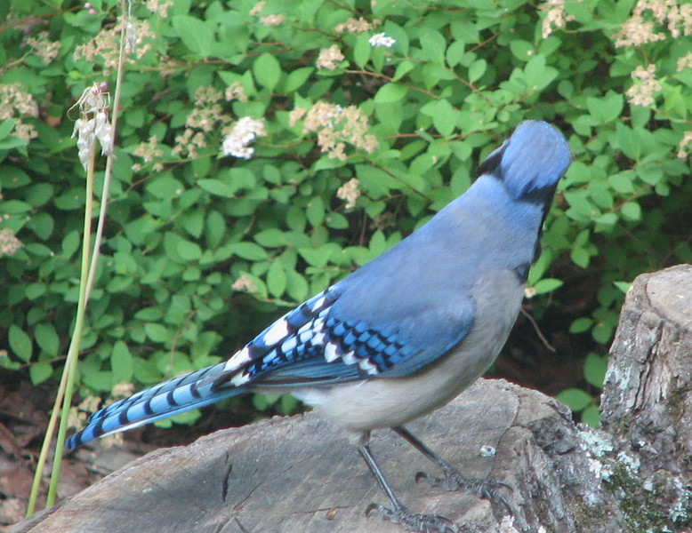 No Photos of Me, Thanks, Says Mr. Bluejay