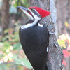 Pileated Woodpecker, Male With Red Mustache_3