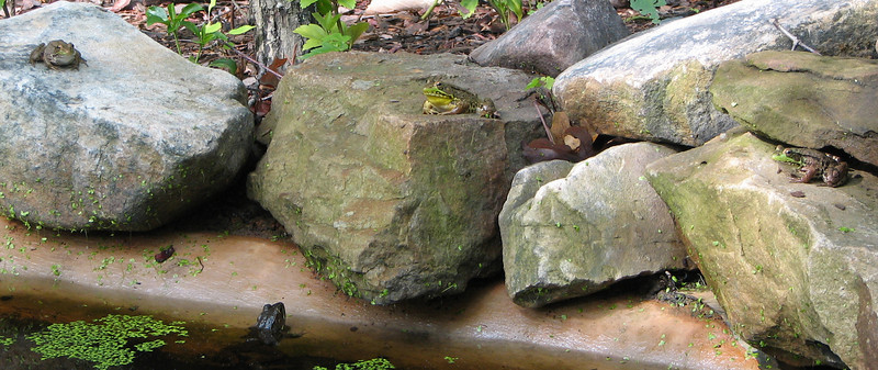 3 Frogs on Rocks and One Looking For a Spot to Jump From the Water