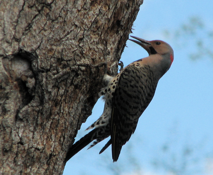 Male Northern Flicker - April 20_4