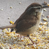Wren in Winter on Front Porch Bath Feeder