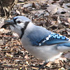 Beautiful Blue Jay Sing to Me