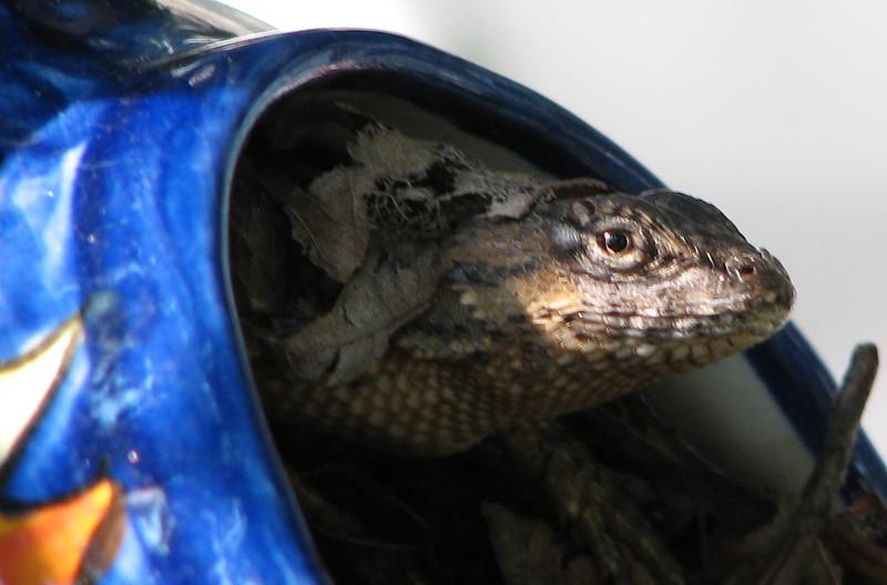 Lizard In The Teapot Where Wren Just Built Nest_3