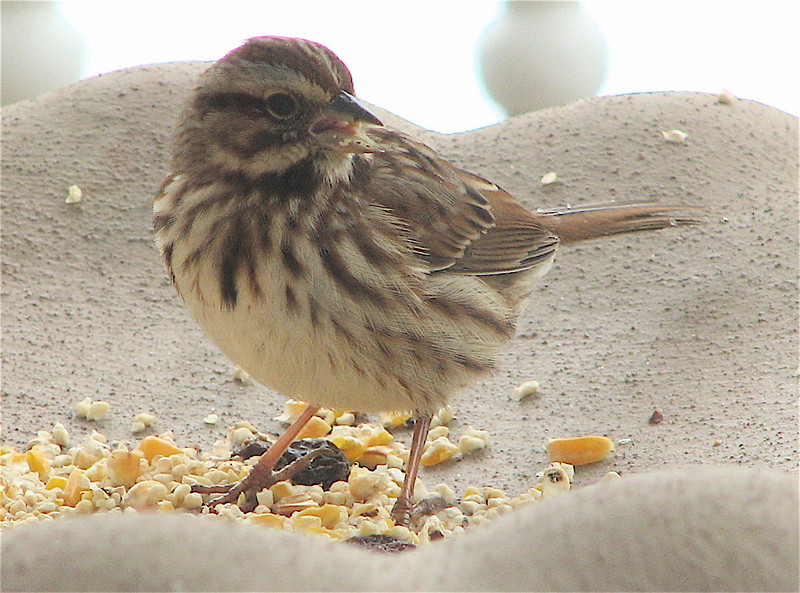 Yummy for the Song Sparrow's Tummy