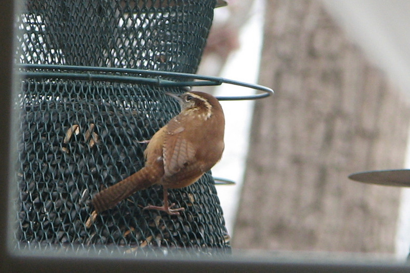 Wren On No-No Feeder