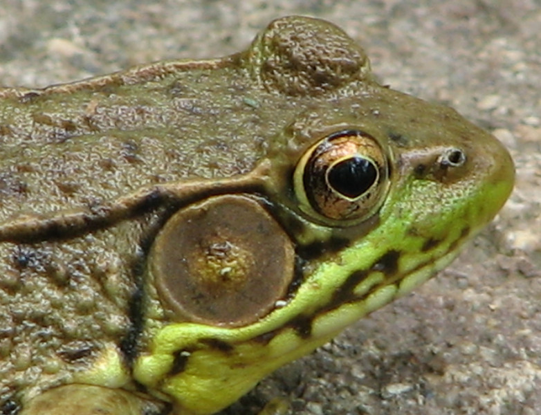 Close-up of Face - Male Green Frog - Pretty Copper Eyes