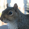 Squirrel Close-up With Peanut Heart on Nose