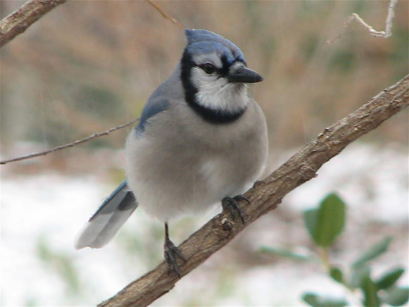 Blue Jay in Willow