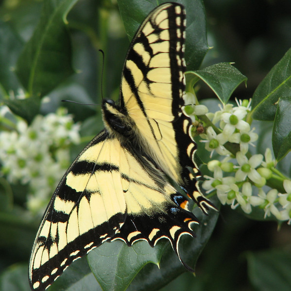 Loading Up on Holly Nectar - First Eastern Tiger Swallowtail This Year - Male - April 4