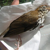 Wood Thrush Died in My Hands on Broken Island Road