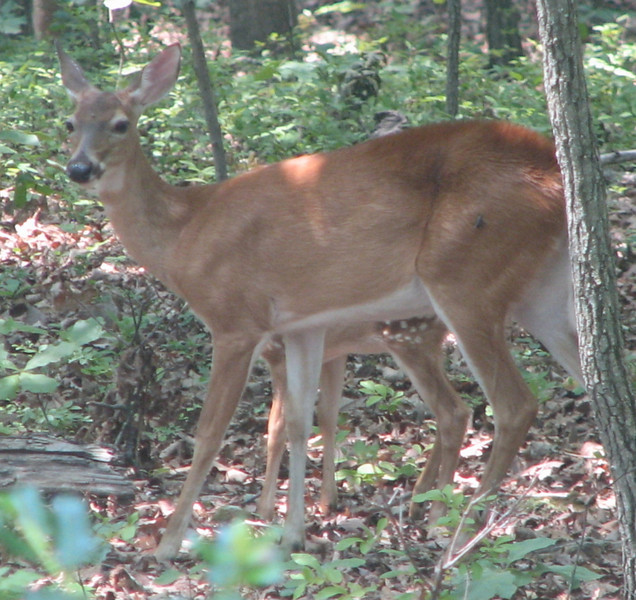 Deer - Doe With Fawn At Her Side - See The Spots Of Its Leg Under Her Belly