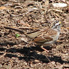 White-throated Sparrow - April 3