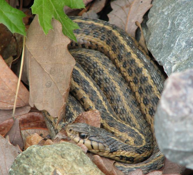 Adult Garter Snake in Rocks