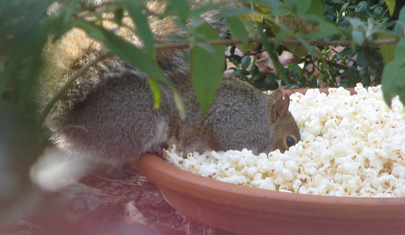 Squirrel Digging In Popcorn For Sunflower Seeds