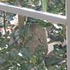 Mating Squirrels - March 6
