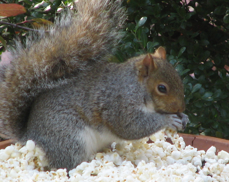 Squirrel In Popcorn Eating Sunflower Seeds