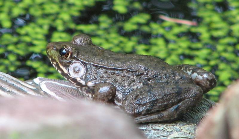 Darker Variety of Green Frog