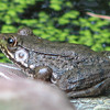 Darker Variety of Green Frog