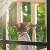 Brown Thrasher - Entertained With His Reflection in the Dining Room Window on the Front Porch_10