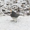 Male Junco in Snow_2