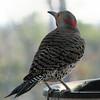 Male Northern Flicker at Bird Bath_3