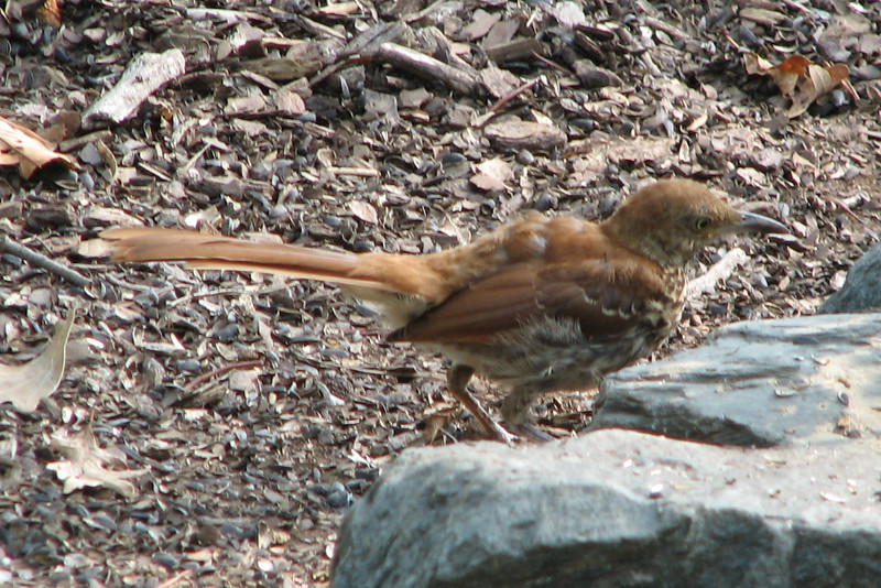 Molting Brown Thrasher