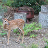 This Fawn Is So Tiny To Be Alone - About The Size of Our Firepit