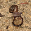 Garden Snail Eating Dead Worm