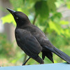 Common Grackle On Hopper Feeder Lid