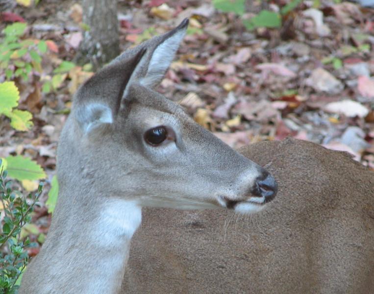 Female Deer In Backyard