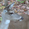 Female Deer In Backyard